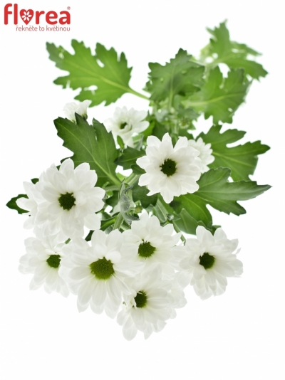 CHRYSANTHEMA SAN BOUNCER 1200g