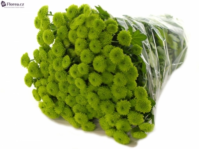 CHRYSANTHEMA SAN COUNTRY 1500g EXTRA