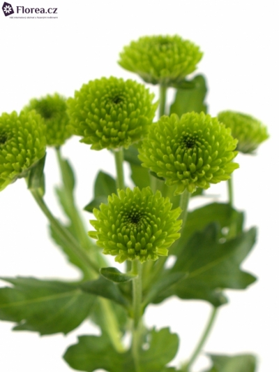 CHRYSANTHEMA SAN COUNTRY 1100g