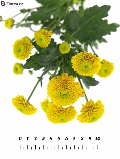 CHRYSANTHEMA SAN JEANNY ORANGE 1000g
