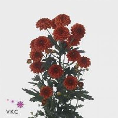 Chryzantema SAN LEXY RED