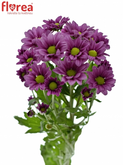 CHRYSANTHEMA SAN MADIBA JOMBE PURPLE 1000g