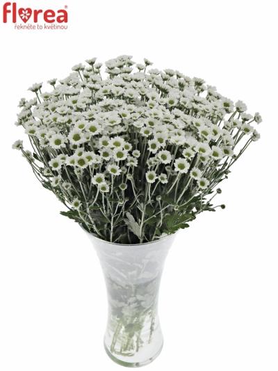 Chryzantema SAN MADIBA LINDI WHITE 900g
