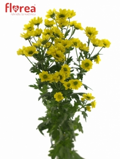 CHRYSANTHEMA SAN MADIBA RINGA YELLOW 1000g