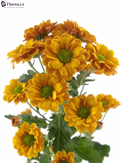 CHRYSANTHEMA SAN MONIKA 1050g
