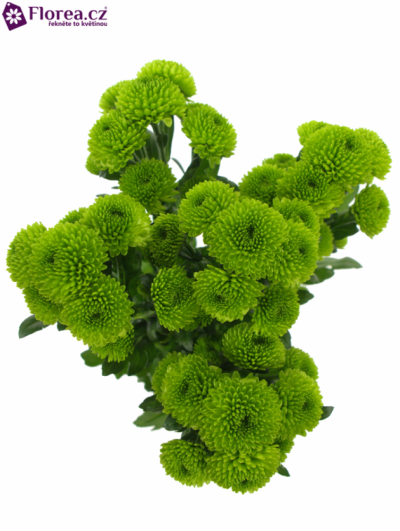 CHRYSANTHEMA SAN PALM GREEN 1250g