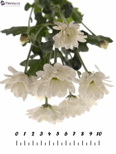CHRYSANTHEMA T BACARDI 45g
