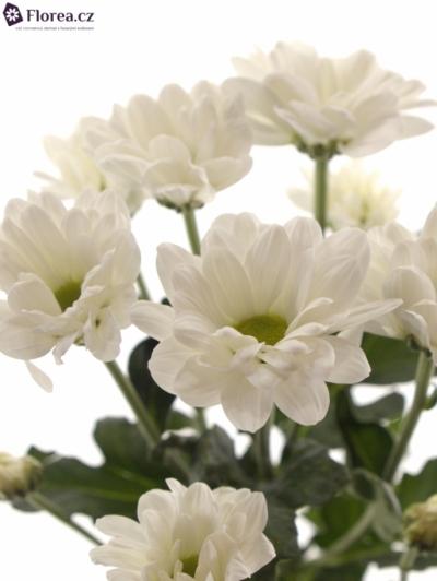 Chryzantéma T BACARDI 85g