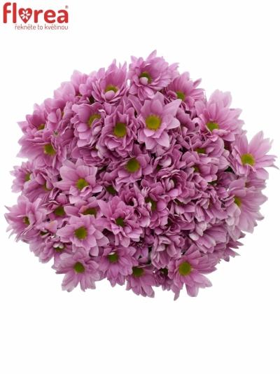 Chryzantéma T BALLERINAS 55g