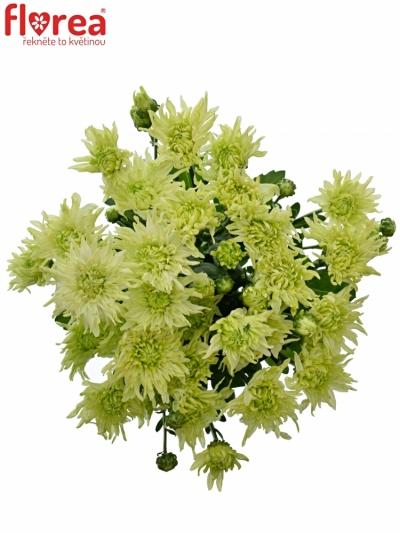 Chryzantéma T BALTICA LIME 85g
