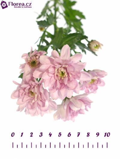 Chryzantema T BALTICA PINK 75g