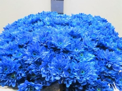 Chryzantéma T BARV. EURO BLUE