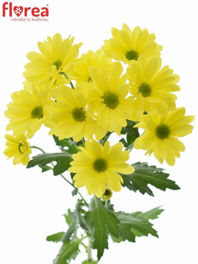 CHRYSANTHEMA T CELEBRATE 85g