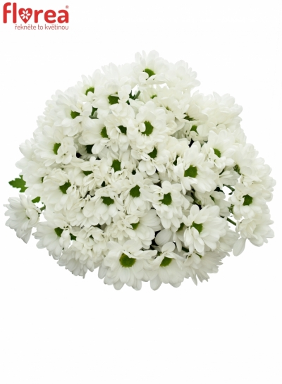 CHRYSANTHEMA T CHIC 50g