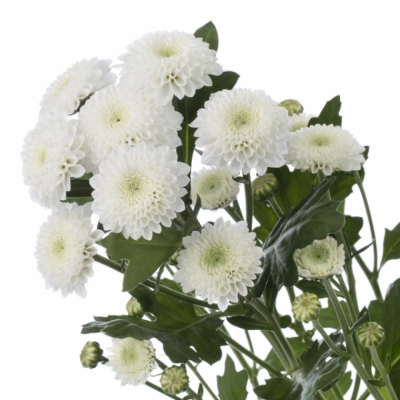 CHRYSANTHEMA T COCONUT 45g