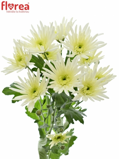 CHRYSANTHEMA T DELIANNE WHITE 75g