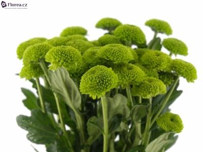 CHRYSANTHEMA T FEELING GREEN DARK 75g