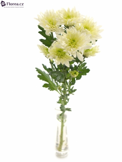 CHRYSANTHEMA T GREEN BALTICA 95g EX