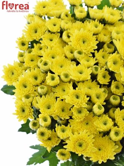 Chryzantéma T IBIS SUNNY