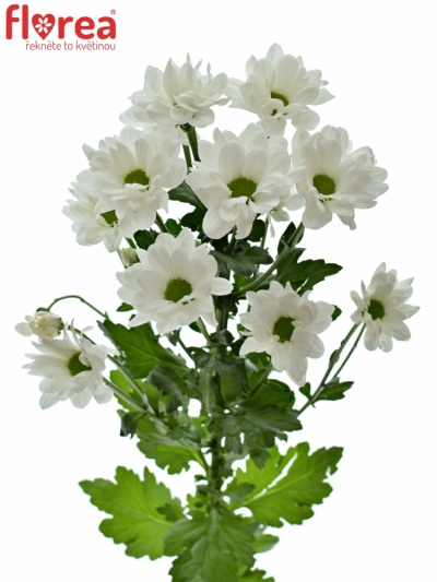 CHRYSANTHEMA T KENNEDY 85g