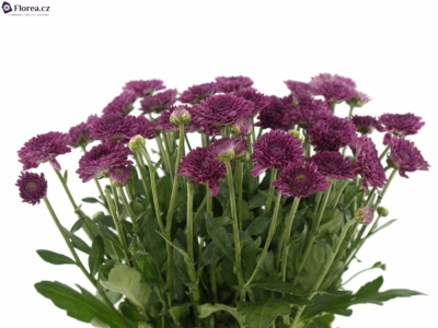 CHRYSANTHEMA T LOLLIPOP PURPLE 55g