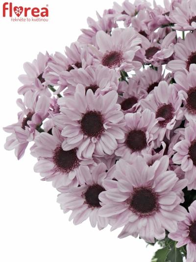Chryzantéma T STRESA 65g