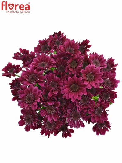Chryzantéma T STRESA PURPLE 90g