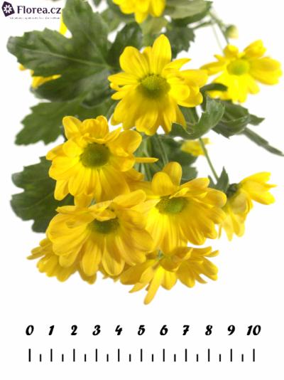 Chryzantéma T WIMBLEDON ORANGE 60g