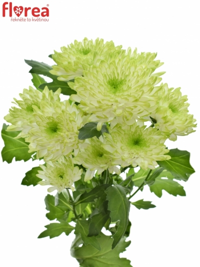 CHRYSANTHEMA T ZEMBLA LIME 80g