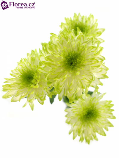 CHRYSANTHEMA T ZEMBLA LIME 70g