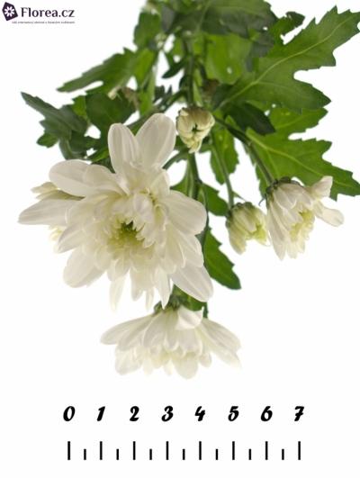 CHRYSANTHEMA T ZEMBLA 75g