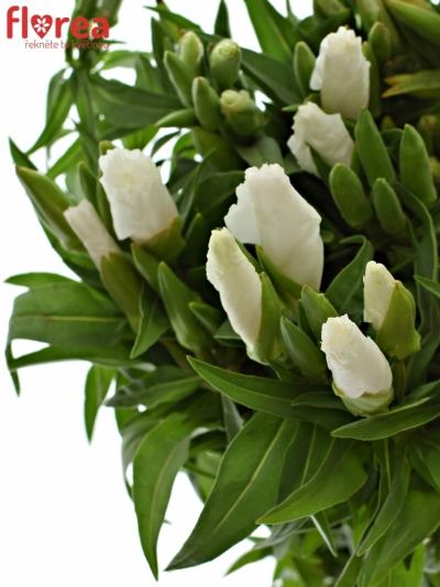 CLARKIA AMOENA GRACE WHITE 50cm