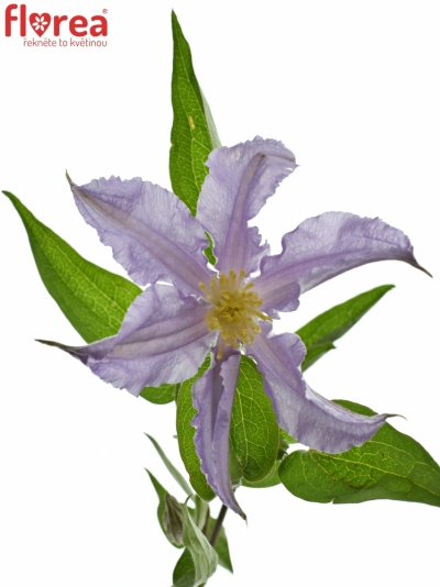 Clematis AMAZING LONDON 50cm