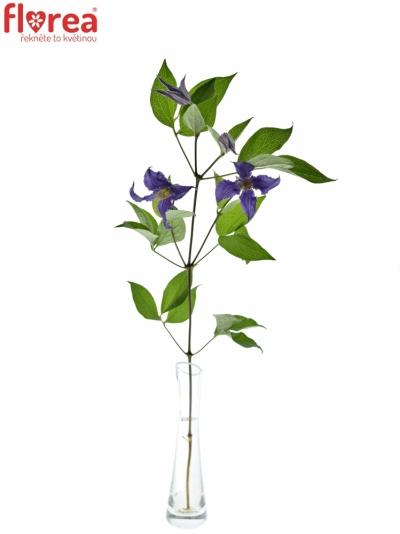 CLEMATIS BLUE PIROUETTE 70cm