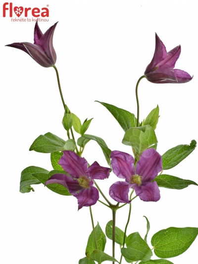 Clematis ISNPIRATION 50cm