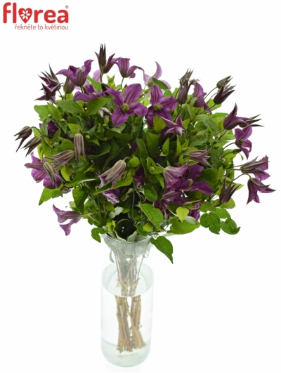 CLEMATIS INSPIRATION 50cm
