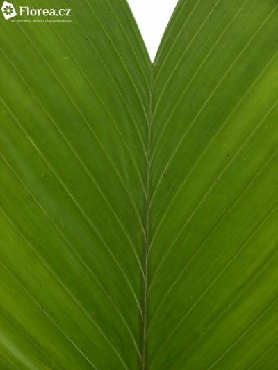 COCOS MEDIUM 50cm