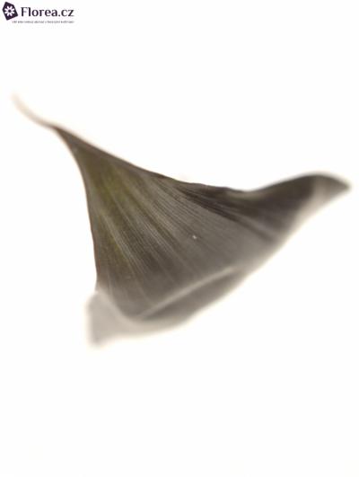 CORDYLINE BLACK TIE 80cm