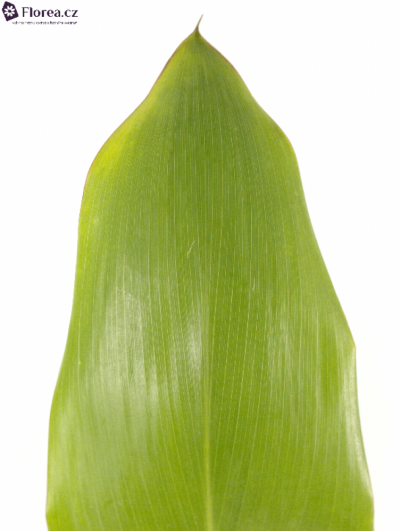 CORDYLINE GREEN TIE VACUUM 80cm
