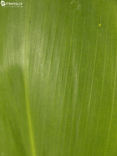 CORDYLINE GREEN TIE 60cm