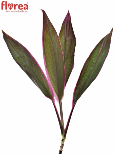 CORDYLINE RED SENSATION 55cm