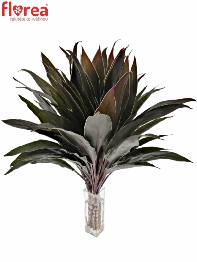 CORDYLINE RED TOPS