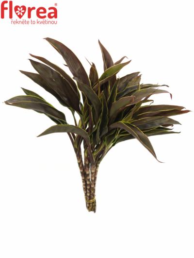 CORDYLINE TIP RED