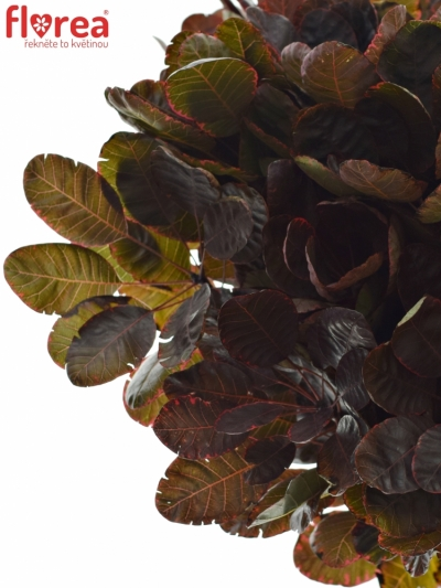 COTINUS ROYAL PURPLE 40cm