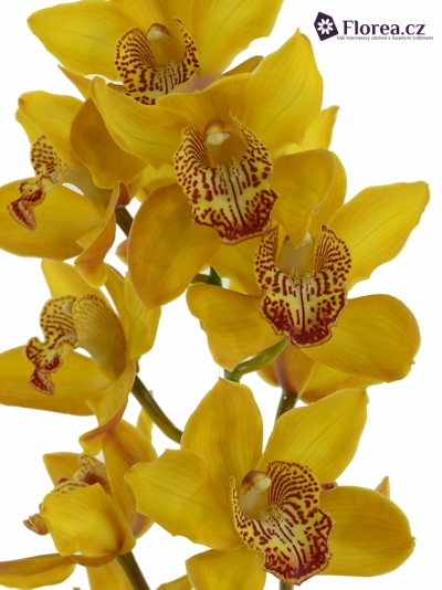Orchidej CHARLY BROWN 50 cm