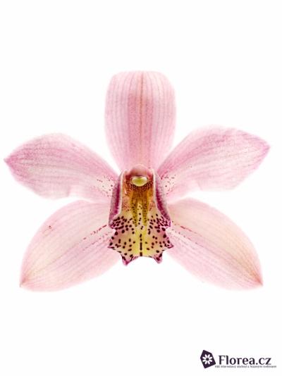 Orchidea Fellini 50cm