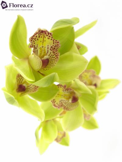 Orchidej HONEY GREEN MELISSA 50cm
