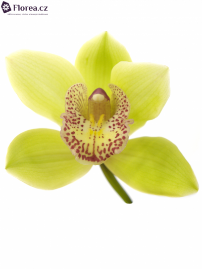 CYMBIDIUM HONEY GREEN MELISSA 50cm