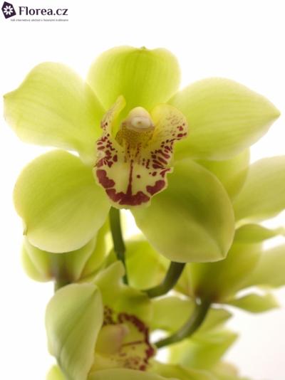 Orchidej MI NICOLE 50cm