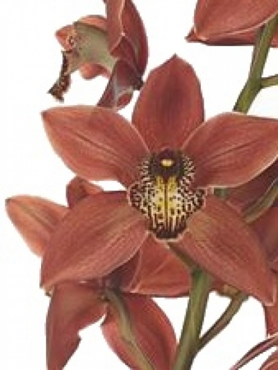 CYMBIDIUM T BROWN EYE 50cm
